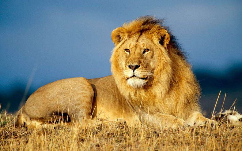 African Lion- 10 Most Venomous Snakes In World