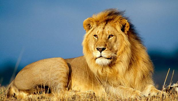 African-Lion