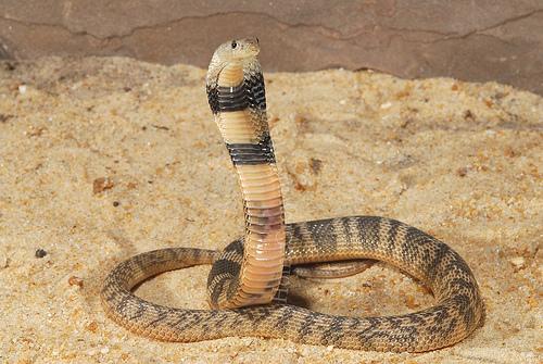 Asian Cobra