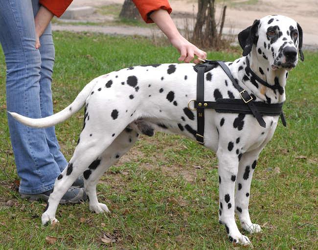 10 – Dalmatian