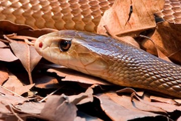 Indian-Taipan-Feature