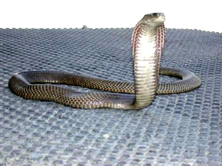 10 most venomous snakes in world