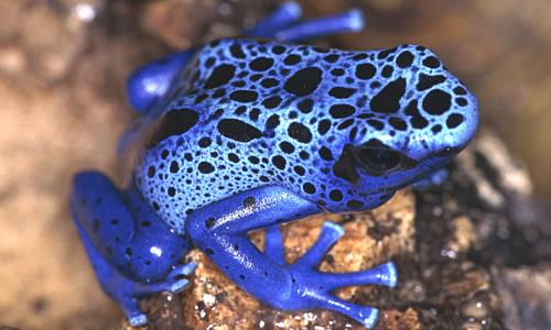 Poison Dart Frog Most Dangerous Animals In World
