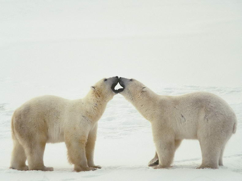Polar Bear