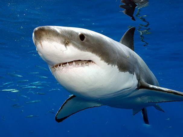 10 most dangerous sea creatures great white shark sciox Choice Image