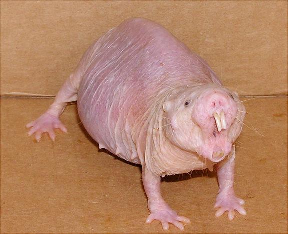 Naked Mole Rat