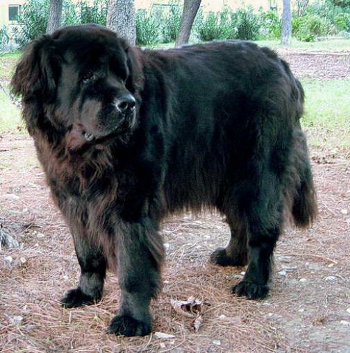 Most Naturally Protective Dog Breed