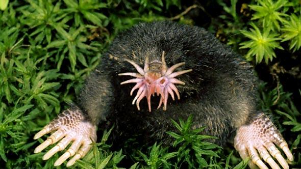Star Nosed Mole