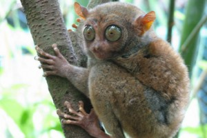 Tarsier - Most Ugliest Animals in the World