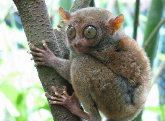 Tarsier - Most Ugliest Animals in the World