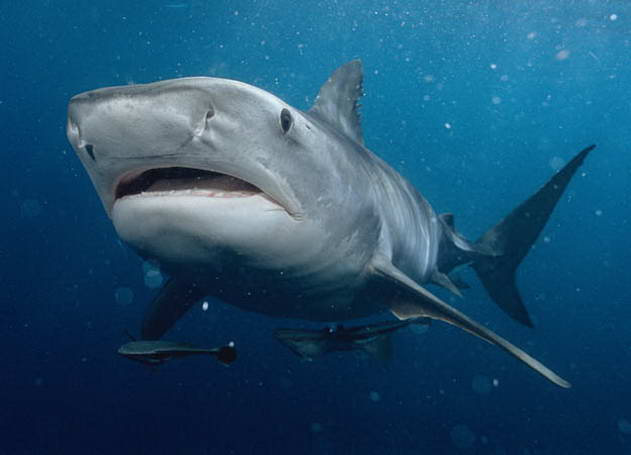 Tiger Shark © Mike Pitts 2004