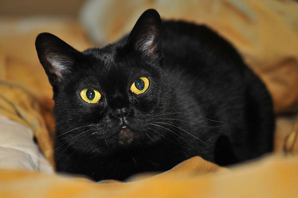 Bombay Cat -  Popular Cat Breeds