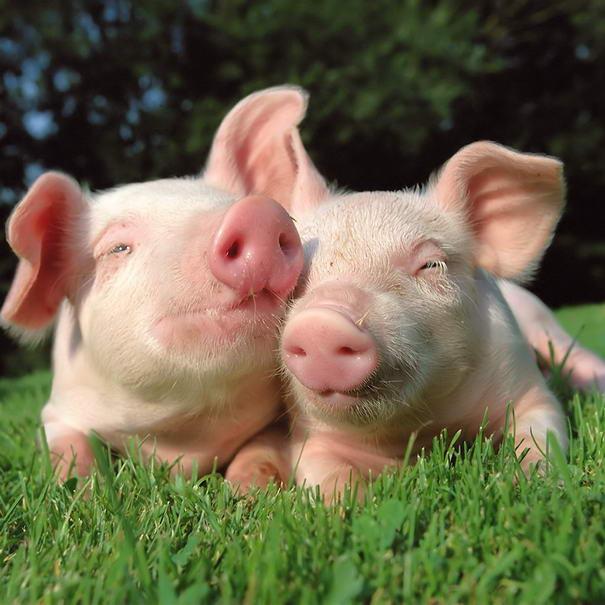 Pigs Intelligent Animals