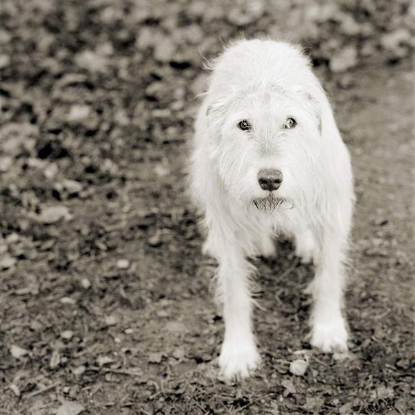 Kelly, Irish Wolfhound, Age 11