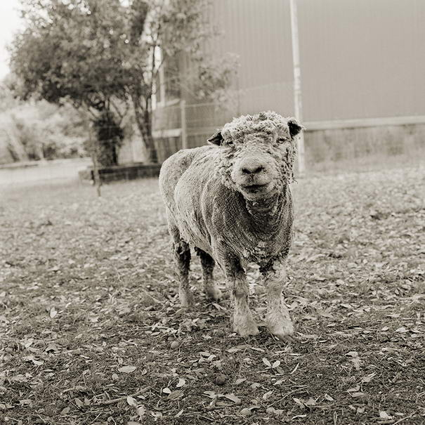 Phyllis, Southdown Sheep, Age 13