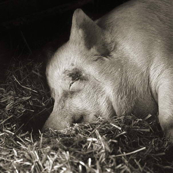 Touching Portraits Teresa, Yorkshire Pig, Age 13