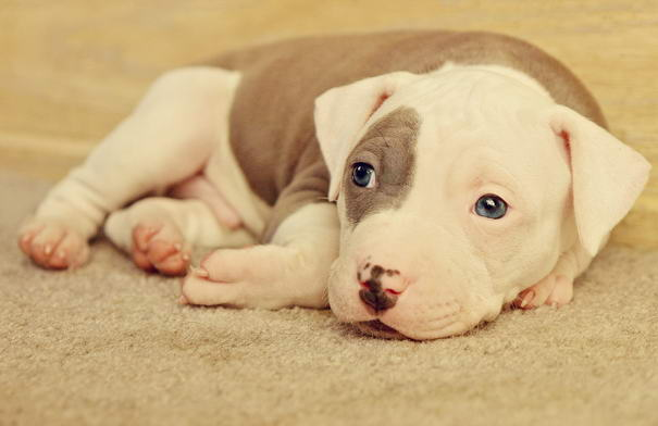 Fantastic Pit Bull Army Adorable Dog - Roxys-Little-One  Photograph_983632  .jpg