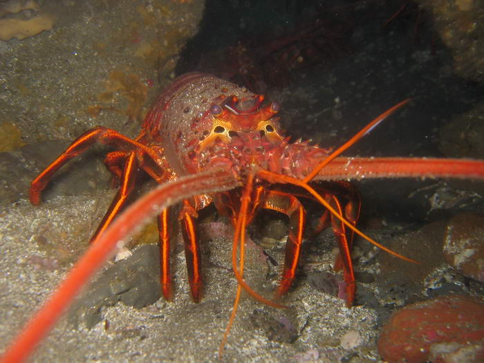 Cannibalistic Animals Lobster