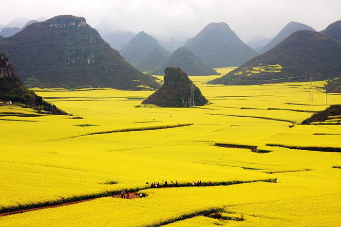 Canola Flower Fields