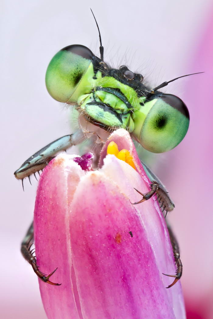 Unreal Macro Photos Of Insect Faces Damselfly