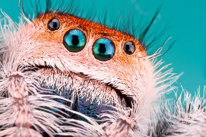 Unreal Macro Photos Of Insect Faces Jumping-Spider