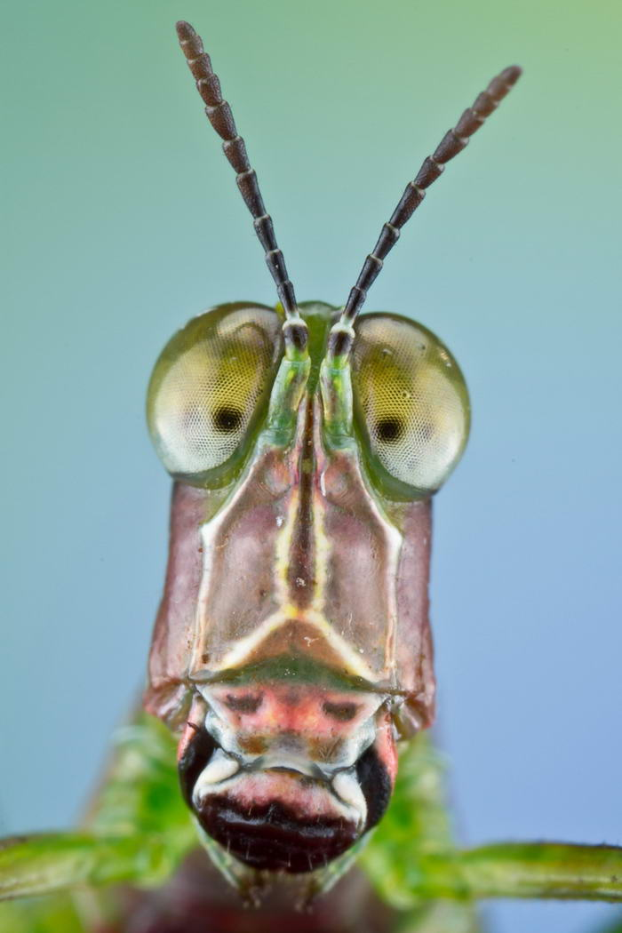 Unreal Macro Photos Of Insect Faces Monkey-Grasshopper