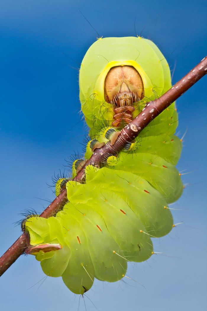 Unreal Macro Photos Of Insect Faces Polyphemus-Caterpillar
