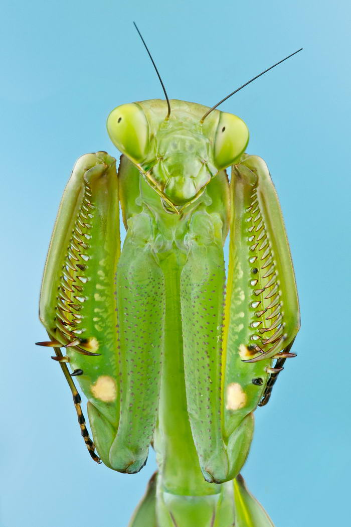 Unreal Macro Photos Of Insect Faces Praying-Mantis