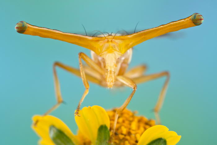 Unreal Macro Photos Of Insect Faces Stalk-Eyed-Fruitfly