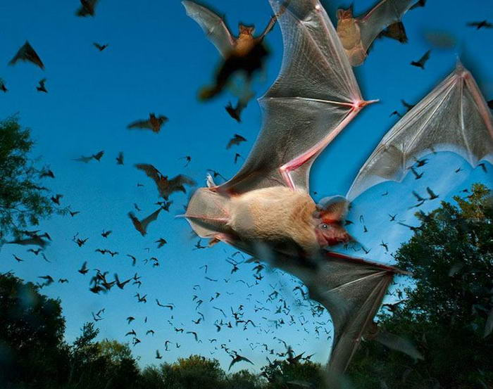 Free-tailed Bats
