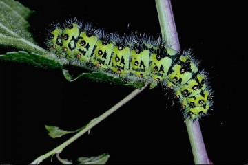 Calleta Silkmoth Caterpillar
