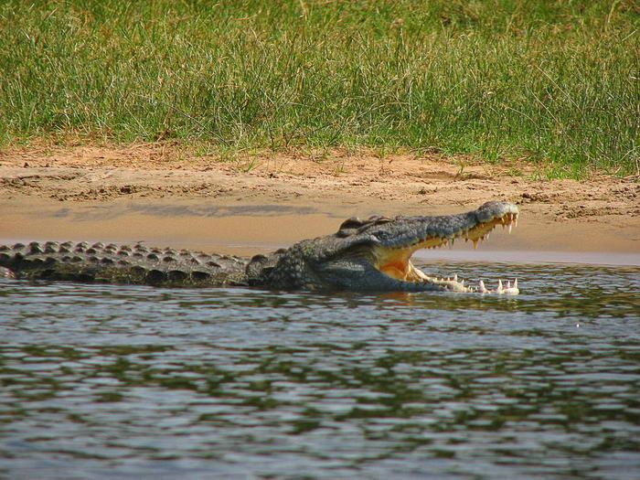 Croc Dung
