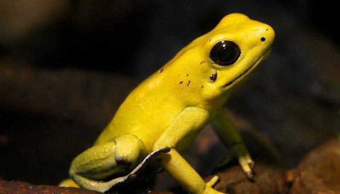 golden-poison-frog