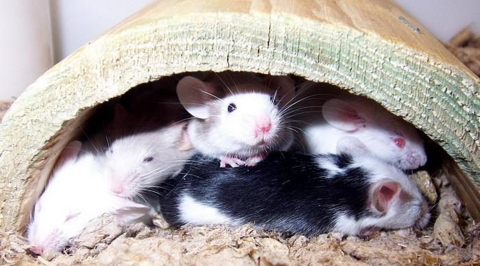 Ground Mice
