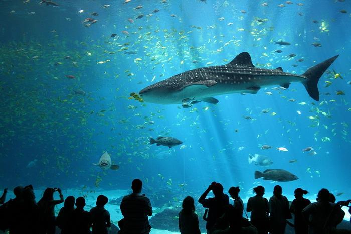 Male whale shark