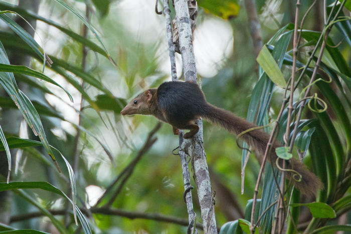 Pen Tailed Tree Shrew