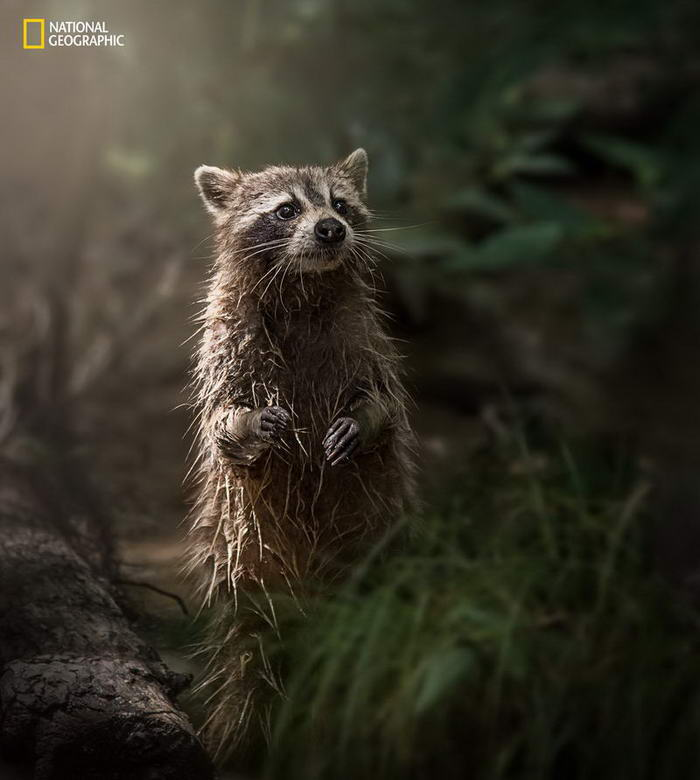 Swamp Raccoon