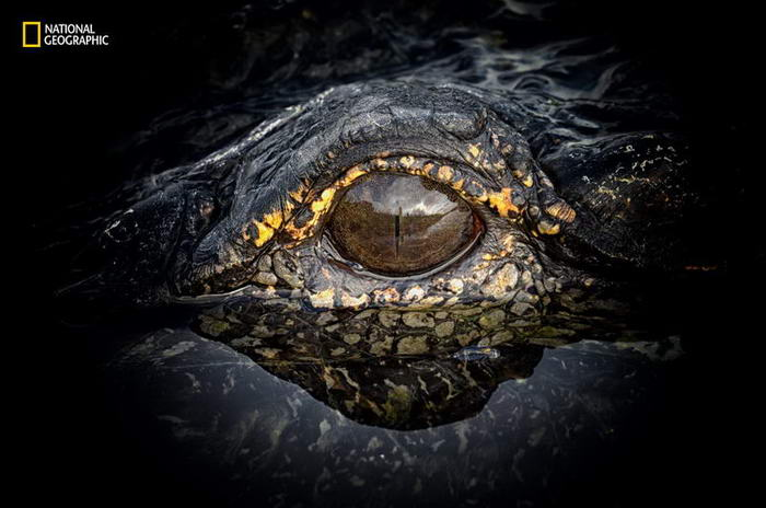The Eye of a Gator