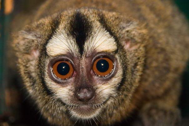 Owl Monkey