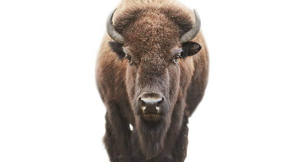 American Bison Animal Portraits