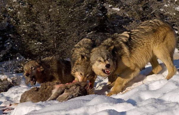 Wolves Wildlife Photography