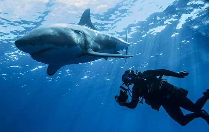 Steve Backshall with Great white shark