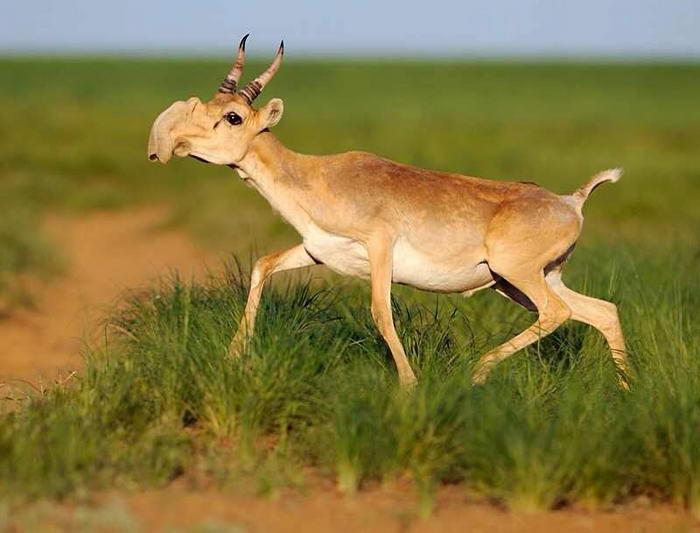 The Saiga Antelope